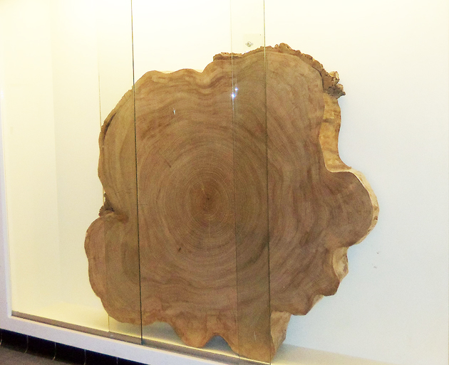A section of the old elm tree is on display at the Ipswich Town Hall