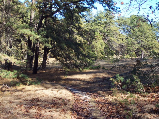 The green trail is the nearest and shortest trail at Castle neck, and crosses a pitch pine forest twice.