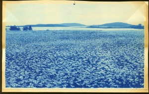 Field of daisies cyanotype by Arthur Wesley Dow