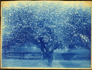 Flowering tree cyanotype by Arthur Wesley Dow