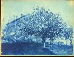 Blossoms cyanotype by Arthur Wesley Dow