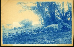 Old trees and fence cyanotype by Arthur Wesley Dow