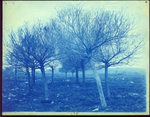 Leaning trees cyanotype by Arthur Wesley Dow