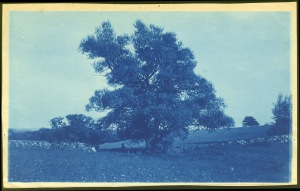 Tree cyanotype by Arthur Wesley Dow