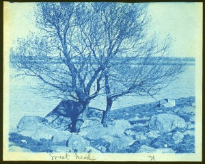 Tree in rocks by the ocean cyanotype by Arthur Wesley Dow