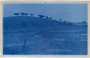 Cattle cyanotype by Arthur Wesley Dow