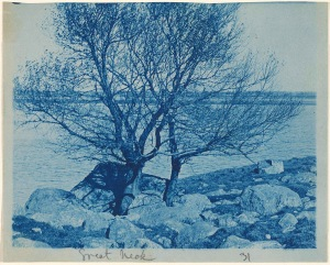 Tree on Great Neck cyanotype by Arthur Wesley Dow