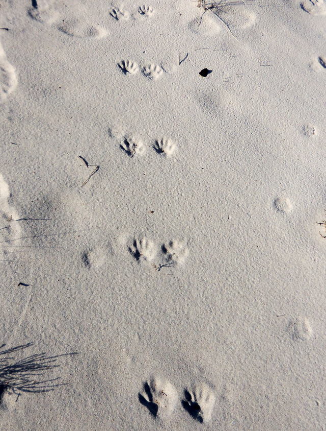 We were not alone--we saw tracks of deer, a coyote, an weren't sure about the identity of this small animal