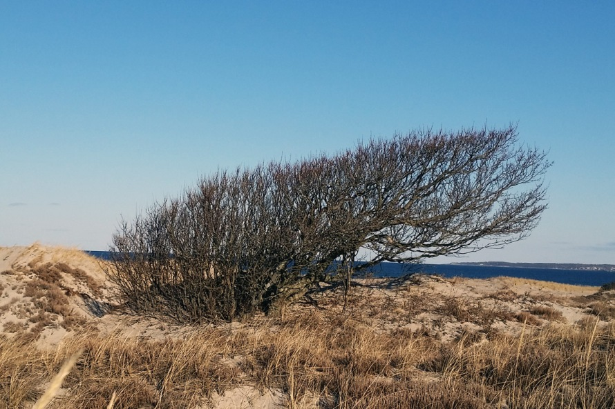 Windblown tree at Castle Neck