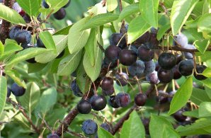 Beach Plum (not to be confused with the Rosa Rugosa which is also referred to by that name),