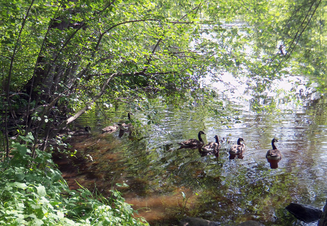 Ducks swimming in the Ipswich River along the path that leads to the rear side of the Old South Cemetery in Ipswich