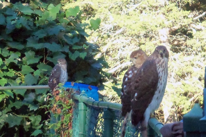Cooper's hawks on our pool fence this morning.