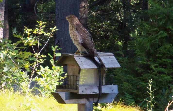 The Cooper's hawks in our back yard are becoming accustomed to our presence.