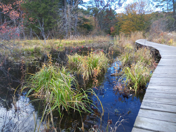 Mallards are plentiful along the boardwalk leaking from the Rookery back to the Visitor Center