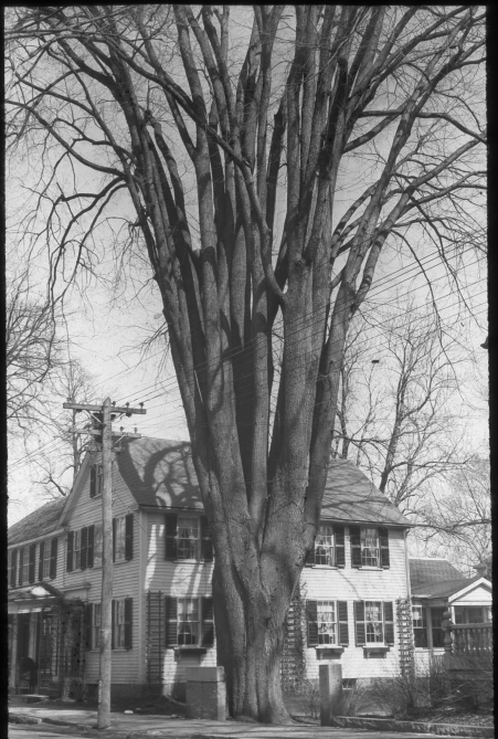 Large elm tree by the South Side Store