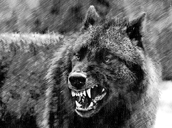 The wolf in colonial America