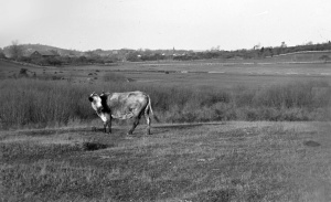Cow on Bush Hill in Ipswich. Photo by Edward Darling