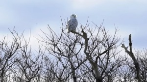 Snowy owl on Plum Island