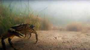 The green crab is a threat to the Great Salt Marsh